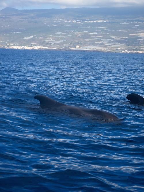 Velryby na Tenerife