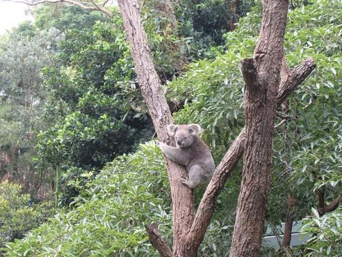 Australsky zaver