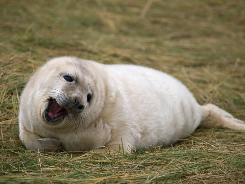 Tuleň Šedý - Mládě